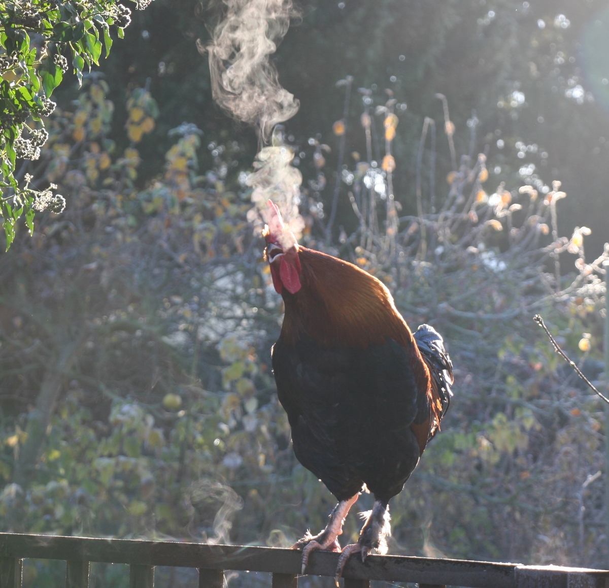 cockerel-smoking-1200